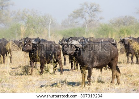 A horizontal, colour image of a wary herd of buffalo, Syncerus caffer, under a dusty sky in the Linyanti Swamps. - stock photo