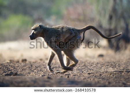 A horizontal, colour photo of a female baboon running with her baby clinging to her chest. - stock photo