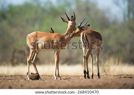 A horizontal , colour photo of two young impala rams grooming one another. - stock photo