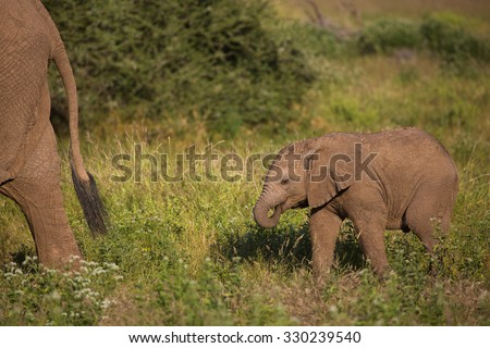 A horizontal, colour photograph of a baby elephant, Loxodonta africana, sucking its trunk and following its mother through green grass in Mashatu Game Reserve, Botswana. - stock photo