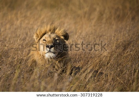 A horizontal, colour photograph of a lion, Panthera leo, lifting his head and smiling out at the camera over long, dry, golden grass the same colour as his mane in the Okavango Delta, Botswana.