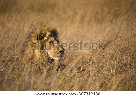 A horizontal, colour photograph of a lion, Panthera leo, lifting his head and staring out above long dry grass the same colour as his mane in the Okavango Delta, Botswana.