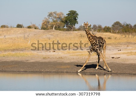 A horizontal, colour photograph of a lone giraffe, Giraffa camelopardalis, head raised from a drink at a waterhole in Hwange National Park, Zimbabwe. - stock photo
