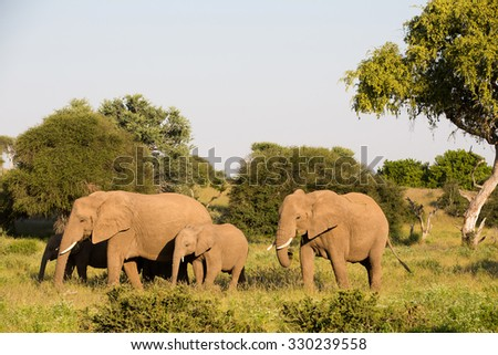 A horizontal, colour photograph of a small herd of elephants, Loxodonta africana, grazing on green grass in Mashatu Game Reserve, Botswana. - stock photo