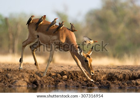 A horizontal colour photograph of an impala doe at a waterhole, covered with a small flock of red-billed buffalo weavers, Buphagus erythrorhynchus, in Mashatu Game Reserve, Northern Tuli, Botswana.