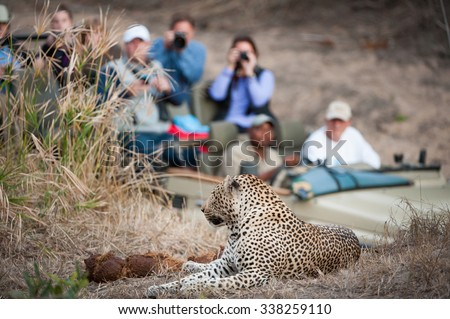 A horizontal, colour photograph of an in-focus leopard resting on a rise in the foreground with a safari vehicle filled with tourists looking on in the background, at Elephant Plains, South Africa. - stock photo