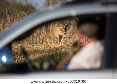A horizontal, colour photograph of an out-of-focus tourist watching an in-focus  lioness, Panthera leo, resting on a rise in dry grass through a car window at Hwange National Park, Zimbabwe.