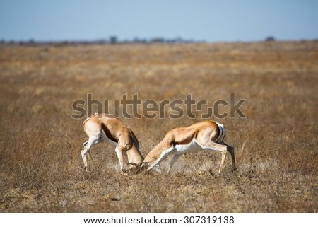 A horizontal, colour photograph of two springbok rams, Antidorcas marsupialis, rutting in an open grassland in the Central Kalahari Game Reserve, Botswana. - stock photo