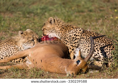 A horizontal, cropped colour image of two small cheetahs, Acinonyx jubatus, gnawing on the rump of an impala ram carcass, Aepyceros melampus, in Mashatu Game Reserve, Botswana. - stock photo