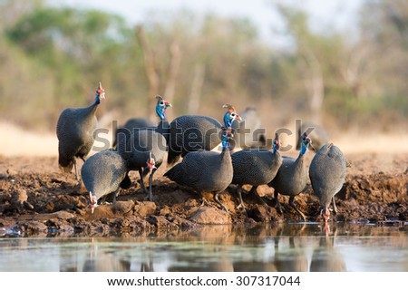 A horizontal, full view, colour photograph of a small flock of helmeted guinea fowl, Numida meleagris, warily drinking at a waterhole in Mashatu Game Reserve, Northern Tuli, Botswana. - stock photo