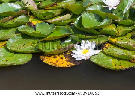 A horizontal image of water lilies with white flowers