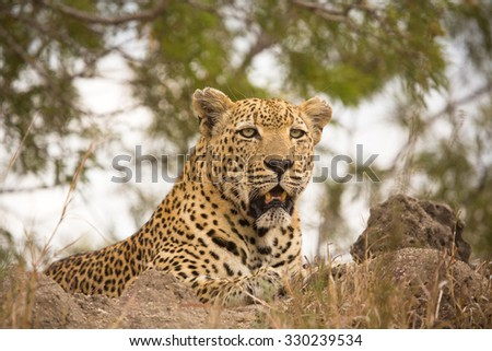 A horizontal, low angle, close up, colour image of an old male leopard with tattered ears and yellow teeth, panting on a termite mound in the Sabi Sand Private Game Reserve, South Africa. - stock photo