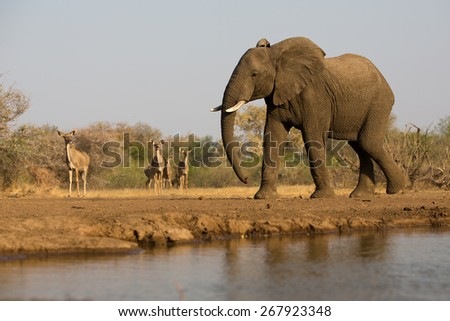 A horizontal photo of an elephant bull walking beside a waterhole while a small herd of kudu watch on in the distance. - stock photo