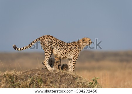 A horizontal photograph of a female Cheetah (acinonyx jubatus) and her cubs on an anthill on the lookout over the plains in the Masai Mara at sunrise