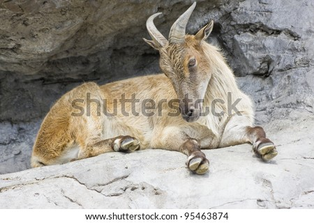 A horned mountain goat sitting on a rock ledge - stock photo