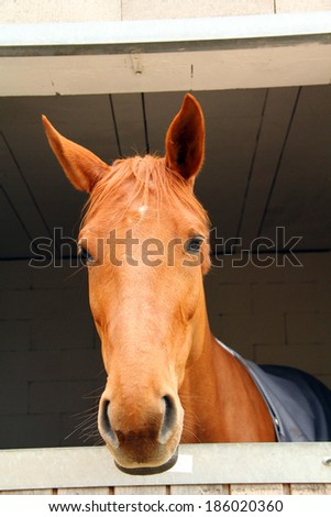 A horse looking from the box - stock photo