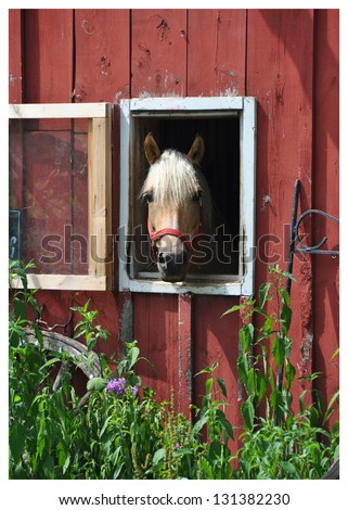 A horse peers out of its stall in a weathered barn on a late June morning with green plants and flowers growing up the side of the barn. - stock photo