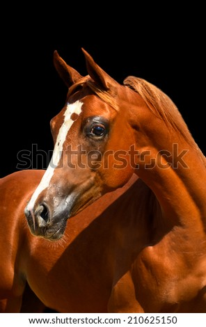 a horse portrait of an arabian filly on a isolated black background - stock photo
