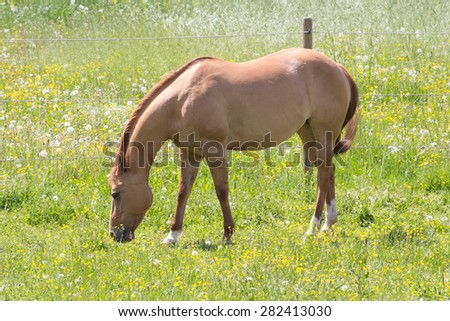a horse standing on a grassland eating grass - stock photo
