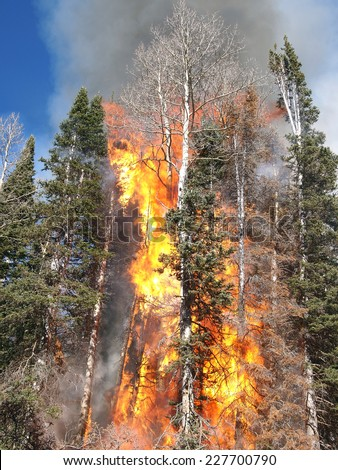 A hot fire torches trees in the forest. - stock photo