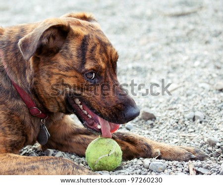 A hound enjoying his ball - stock photo