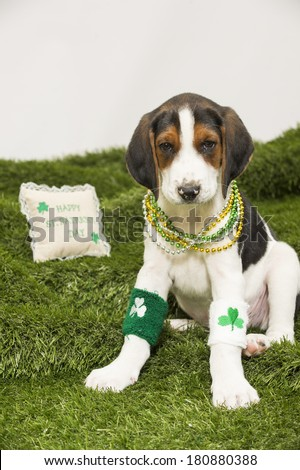 """A hound-mix puppy gets ready to celebrate St. Patrick's Day, wearing clover leg bands and beads; pillow in background reads """"Happy St. Patrick's Day."""" - stock photo"""