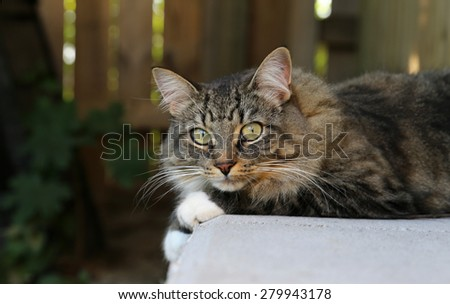 A house cat sitting outside resting on a retaining wall.  - stock photo
