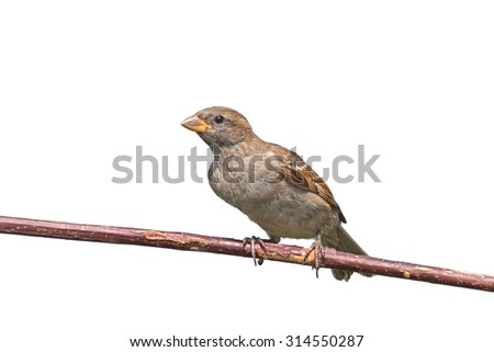 A house sparrow leans forward on a tree branch, white background