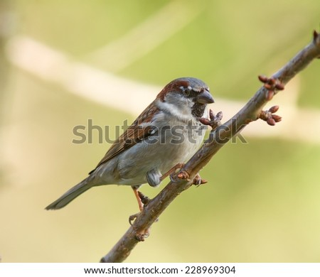 A House Sparrow on a tree branch. - stock photo