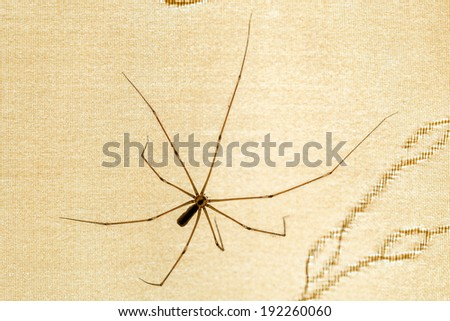 A house spider, pholcus phalangioides, on a curtain - stock photo