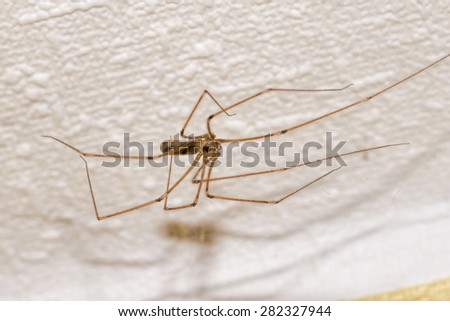 A house spider, pholcus phalangioides, on a wall - stock photo
