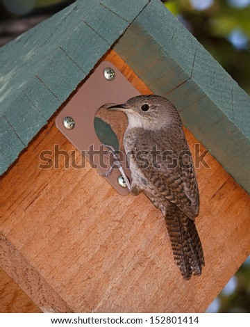 a house wren clings to the entrance of a birdhouse while it peers into the opening. - stock photo