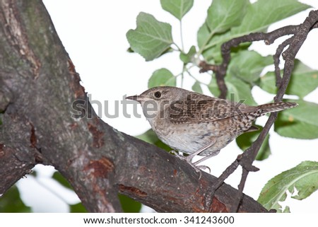 A house wren perched on the branch of an apple tree. The bird looks back while displaying its brown, tan and white striped wing and tail feathers. Framed by green leaves and on a white background.