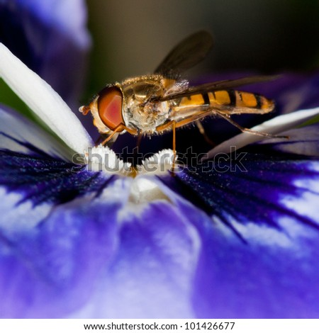 A hoverfly guards a patch of pollen at the centre of a pansy.