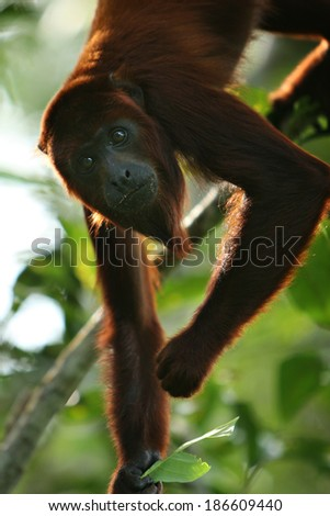 A Howler Monkey in the jungle of Peru - stock photo