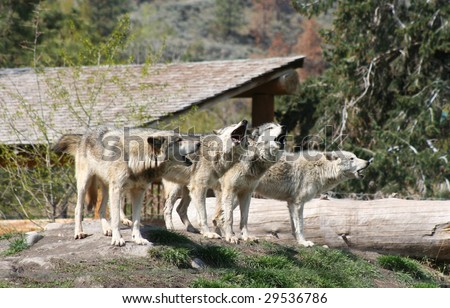 a howling wolf pack
