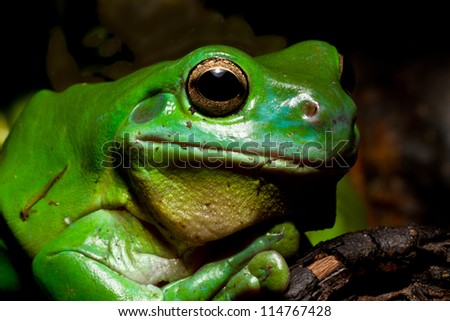 A huge Australian green tree frog posses for the camera. - stock photo