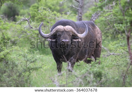 A huge Cape Buffalo bull in this image. South Africa