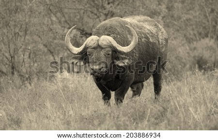 A huge cape buffalo bull standing and posing in this black and white image, taken in South Africa. - stock photo