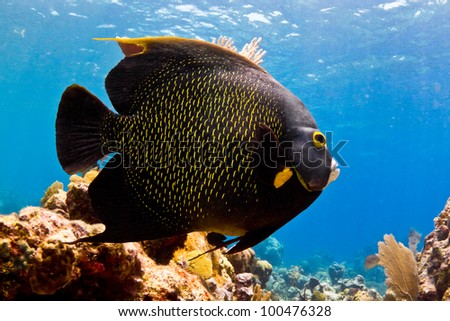 A huge Caribbean Angel fish cruises the shallows.