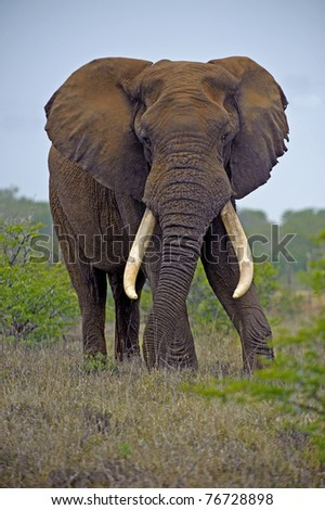 A huge Elephant Bull is king of Addo - stock photo