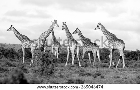 A huge herd of adult giraffe in sepia tone. - stock photo