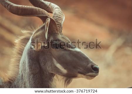A huge Kudu Bull antelope in zoo.  vintage tone - stock photo