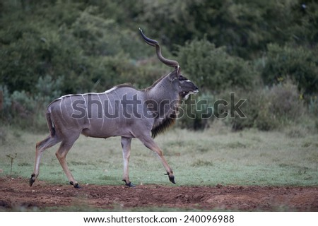A huge Kudu Bull out in the open - stock photo
