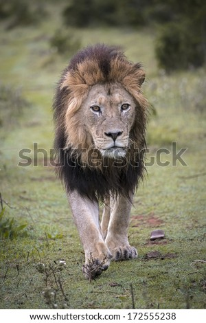 A huge lion  - stock photo