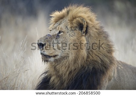 A huge Lion watches an approaching herd of buffalo - stock photo