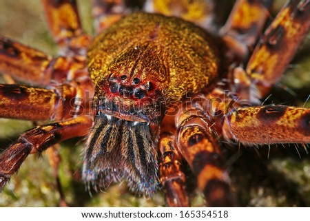 A HUGE Malaysian Wolf or Cave Spider. Big as a tarantula, she clings to rock near water and ways for prey in the rain forests of Borneo. - stock photo