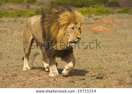 A huge male lion comes really close - stock photo