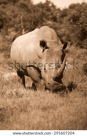 A huge rhinoceros / rhino grazing in this image. South Africa - stock photo