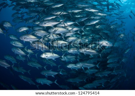 A huge school of Big-eye jacks (Caranx sexfasciatus) swirl in open water just beyond a reef pinnacle off of Cocos Island, Costa Rica.  This area is known for its sharks. - stock photo